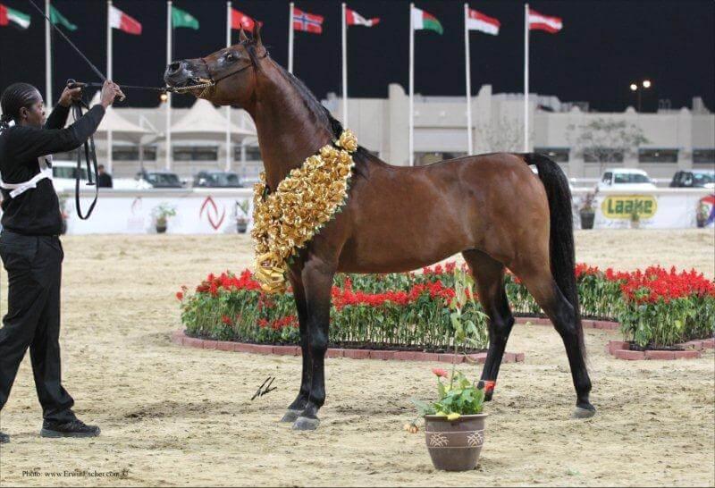 Scheherezade-Arabian-Farms-Darlena_Sire_Shaheen Al Waab_4