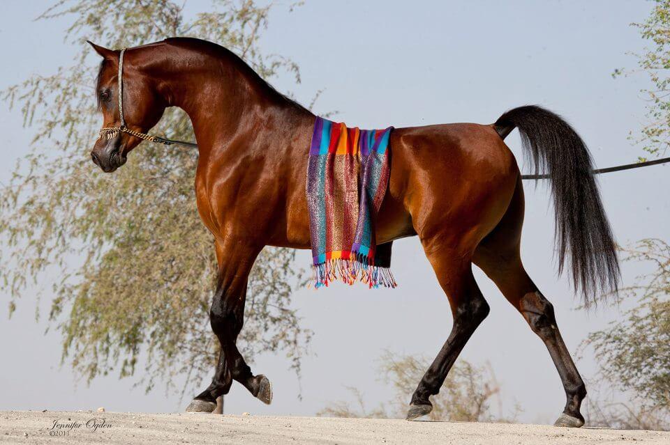 Scheherezade-Arabian-Farms-Darlena_Sire_Shaheen_Al_Waab_3