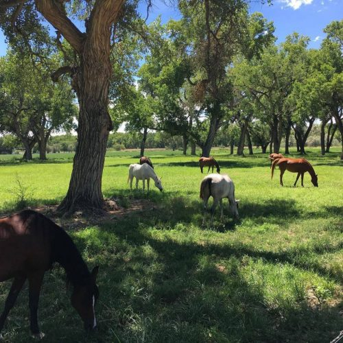 Scheherezade-Arabian-Farms-Horses-Grazing-Under-Cottonwood-Trees