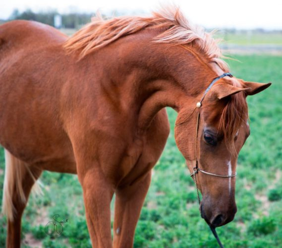 Scheherezade-Arabian-Farms-Just-Her-Image