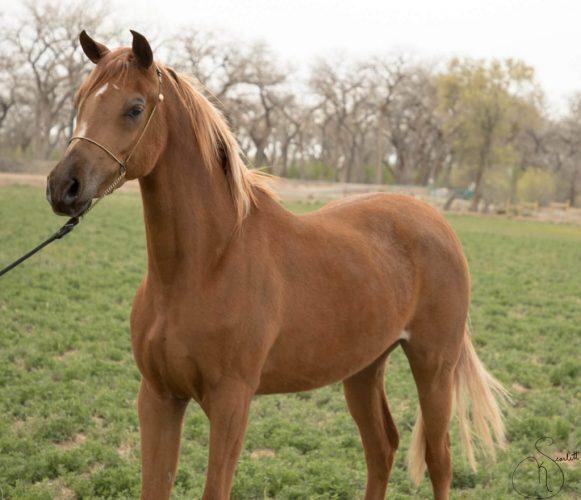 Scheherezade-Arabian-Farms-Just-Her-Image-3
