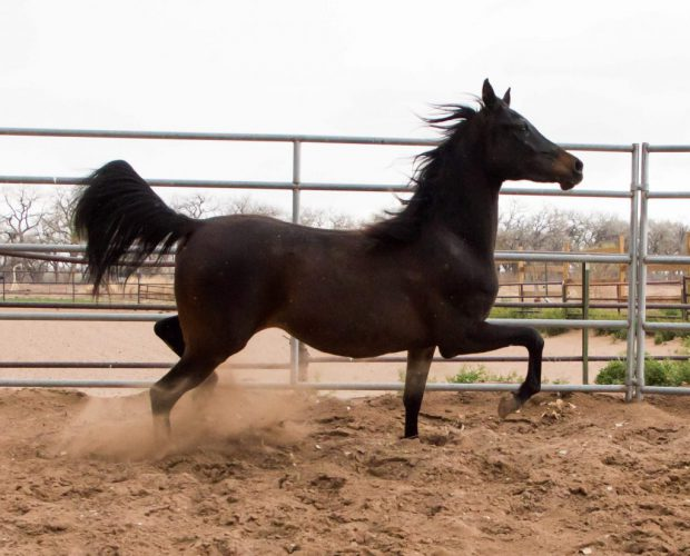 Scheherezade-Arabian-Farms-Sally-Lou-Sib