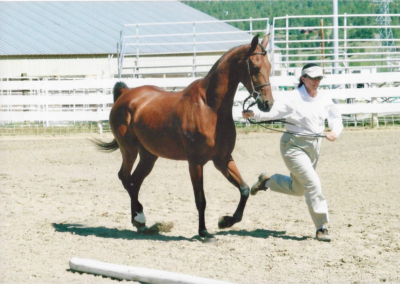 Scheherezade-Arabian-Farms-Sharon-Kettwich-Showing-Horse-in-Ring