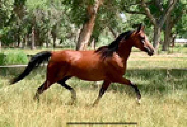 Scheherezade-Arabian-Farms-Sarina_Trotting_1